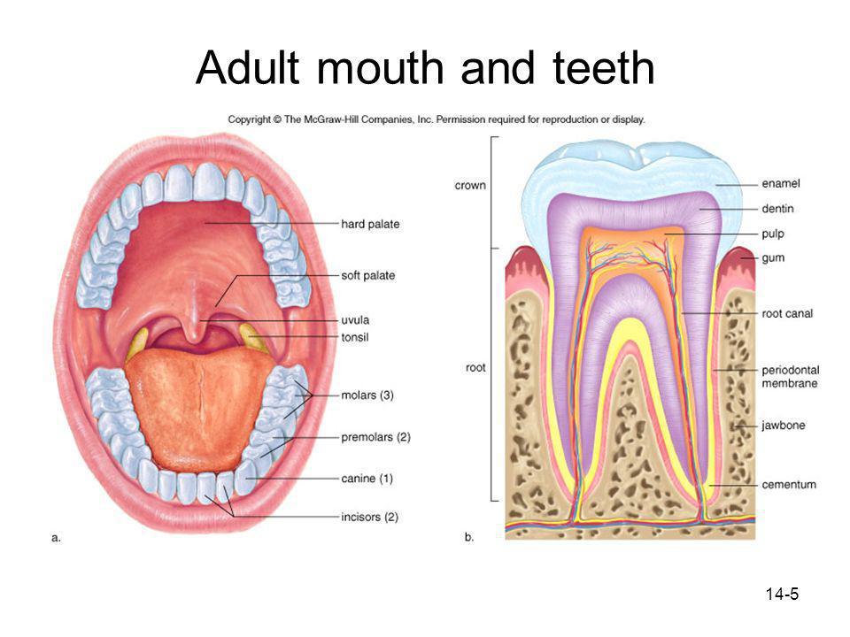 Adult mouth and teeth