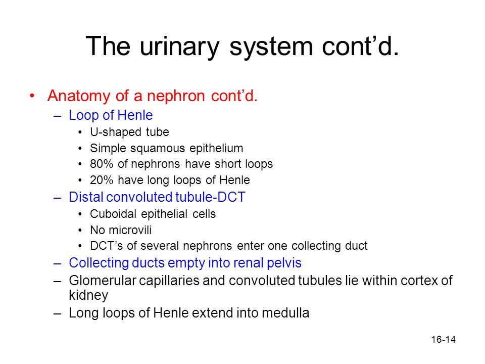 The urinary system cont'd.
