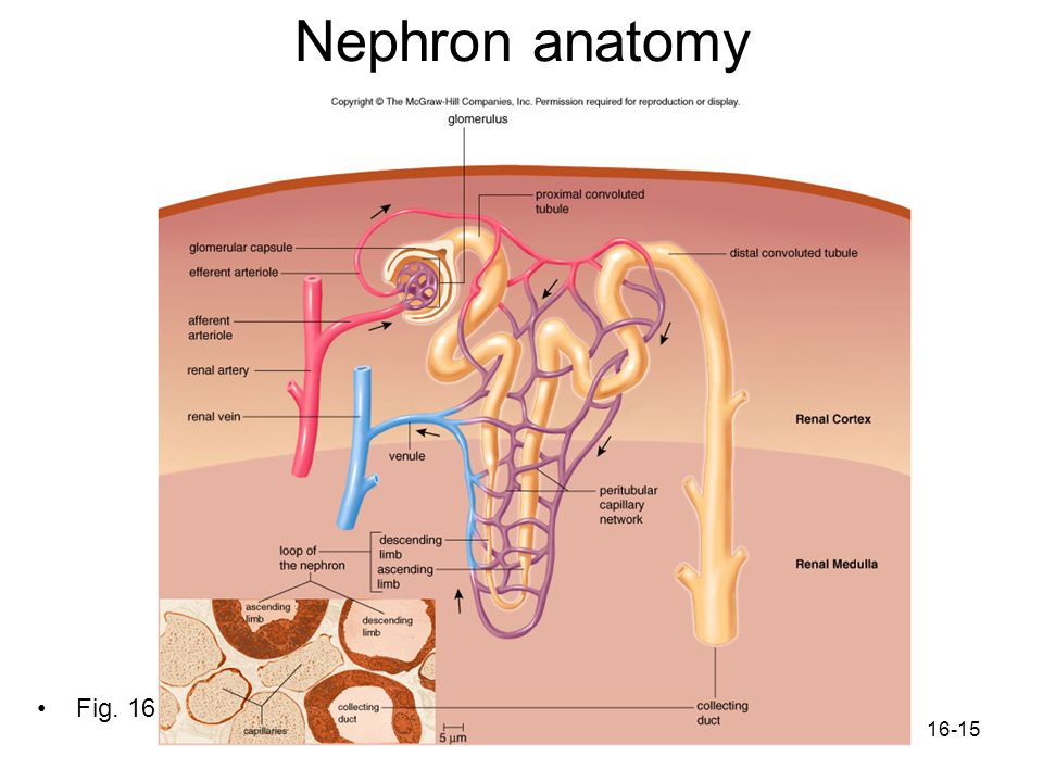 Nephron anatomy Fig. 16.4
