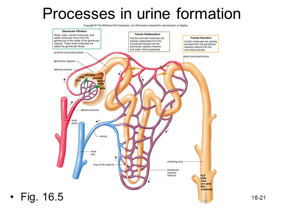 Processes in urine formation