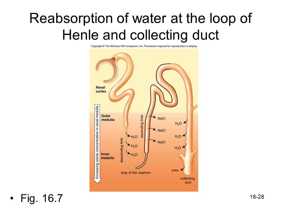 Reabsorption of water at the loop of Henle and collecting duct