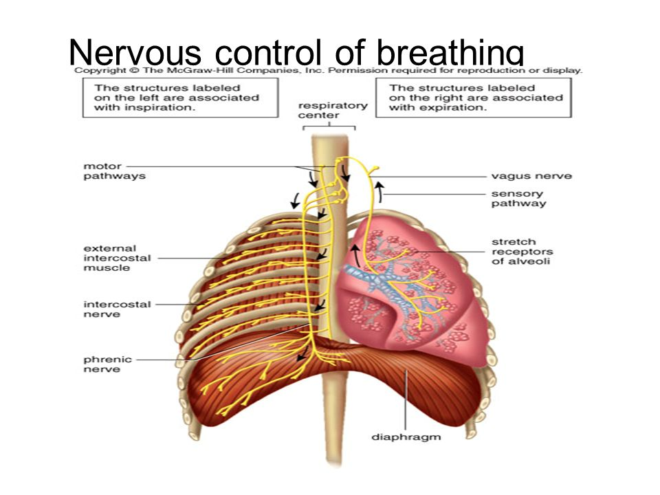 Nervous control of breathing