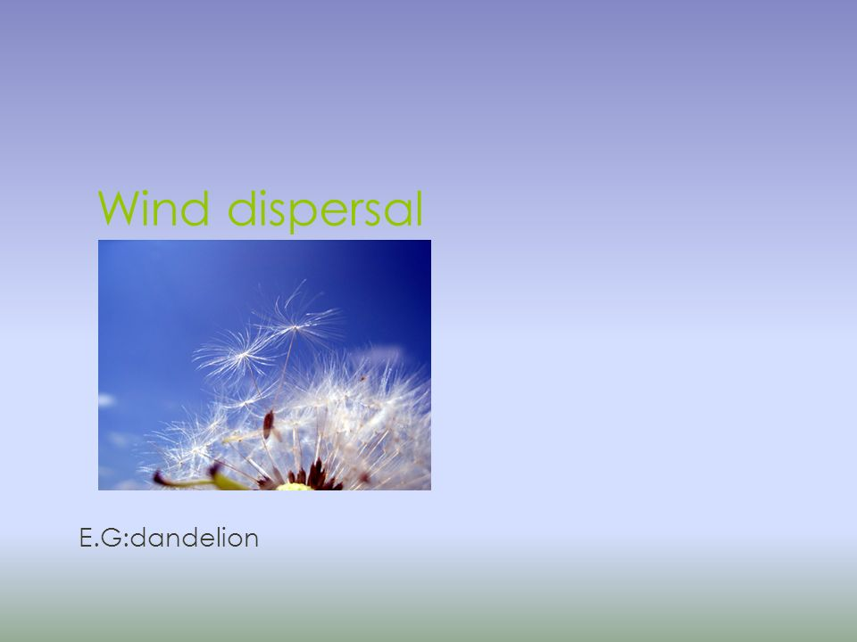 Wind dispersal E.G:dandelion