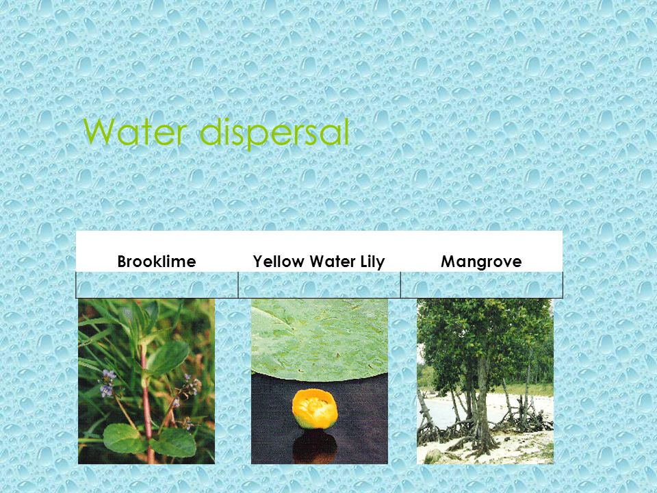 Water dispersal Brooklime Yellow Water Lily Mangrove