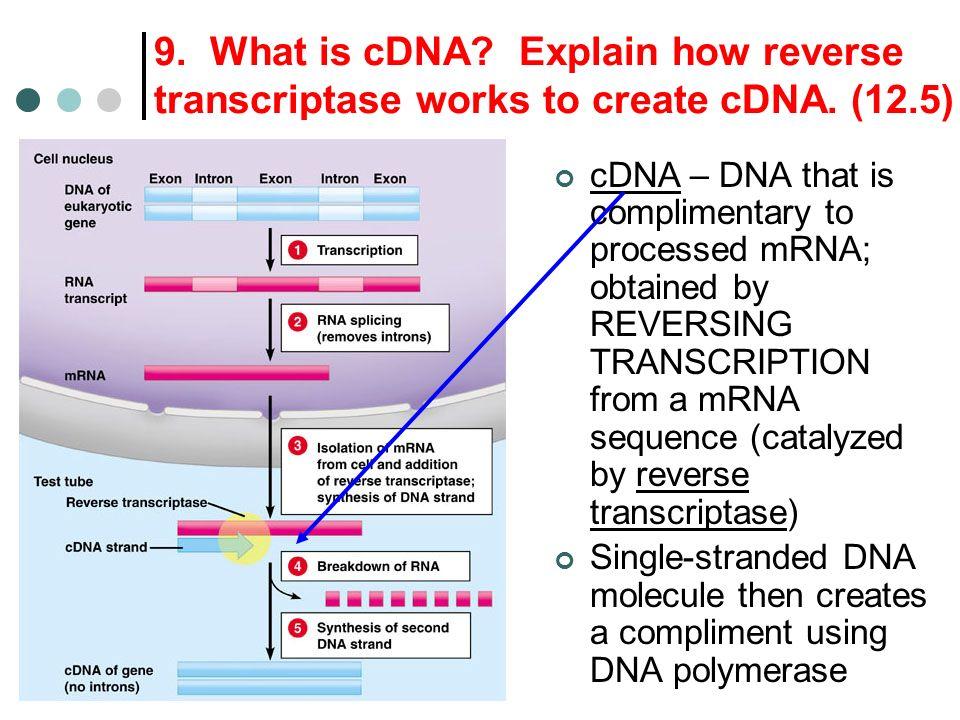 9. What is cDNA Explain how reverse transcriptase works to create cDNA. (12.5)