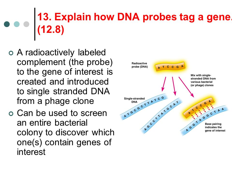 13. Explain how DNA probes tag a gene. (12.8)