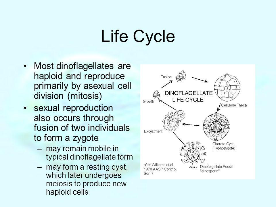 Life Cycle Most dinoflagellates are haploid and reproduce primarily by asexual cell division (mitosis)