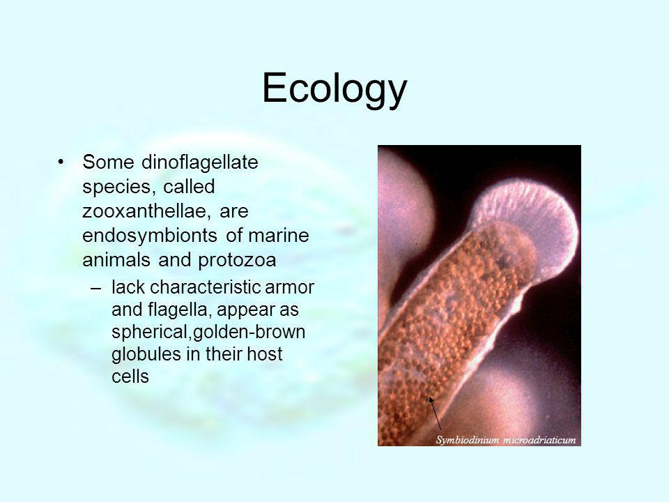 Ecology Some dinoflagellate species, called zooxanthellae, are endosymbionts of marine animals and protozoa.