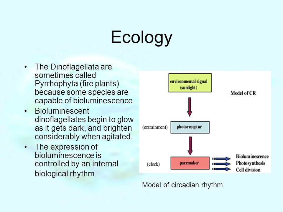 Ecology The Dinoflagellata are sometimes called Pyrrhophyta (fire plants) because some species are capable of bioluminescence.