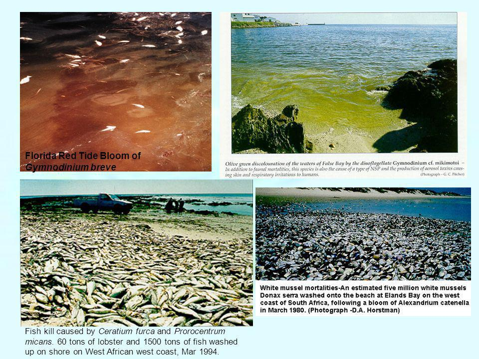 Florida Red Tide Bloom of Gymnodinium breve