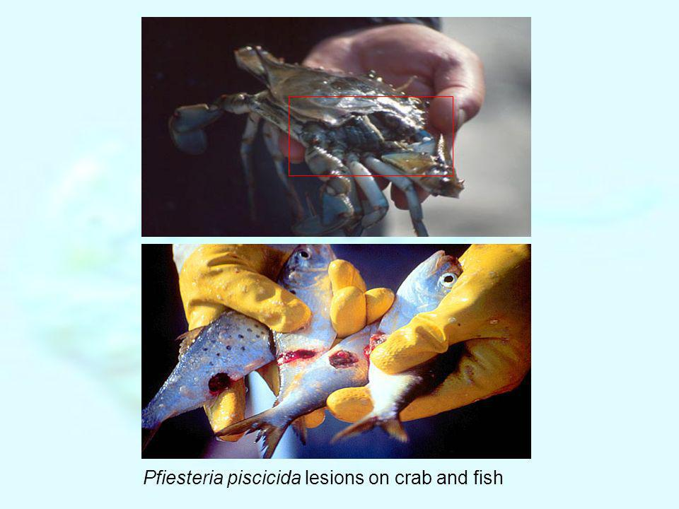 Pfiesteria piscicida lesions on crab and fish