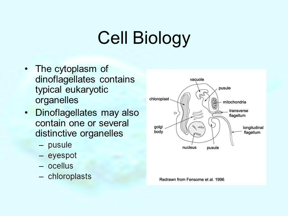 Cell Biology The cytoplasm of dinoflagellates contains typical eukaryotic organelles.