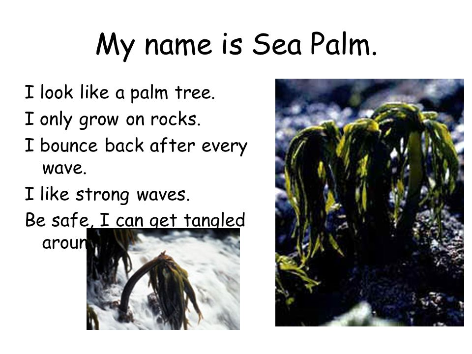 My name is Sea Palm. I look like a palm tree. I only grow on rocks.