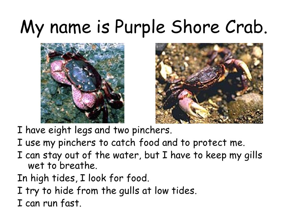 My name is Purple Shore Crab.