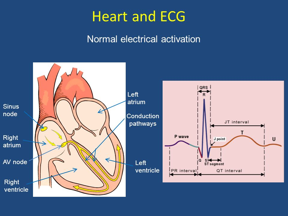 Heart and ECG Normal electrical activation Left atrium Sinus node