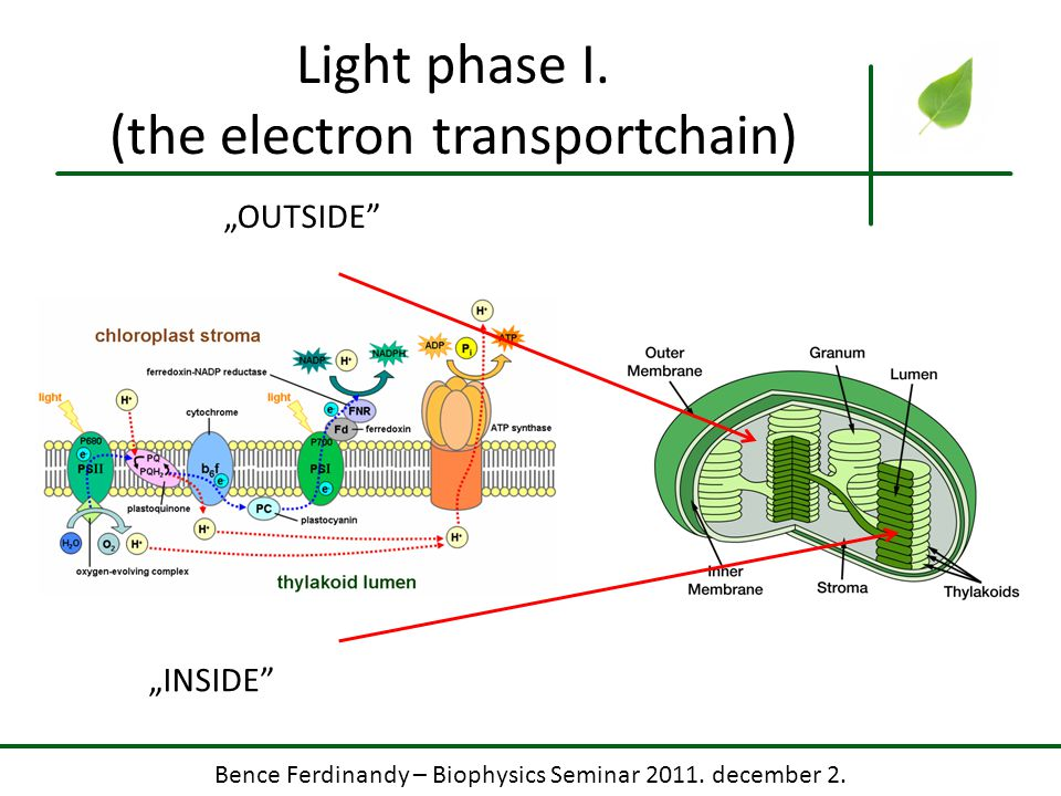 Light phase I. (the electron transportchain)
