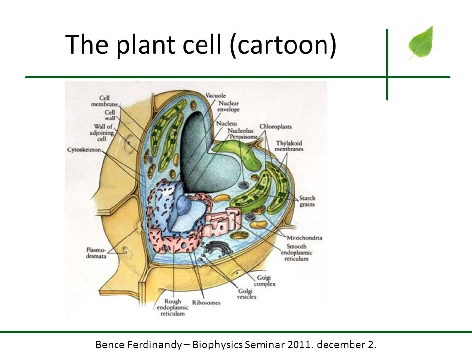 The plant cell (cartoon)