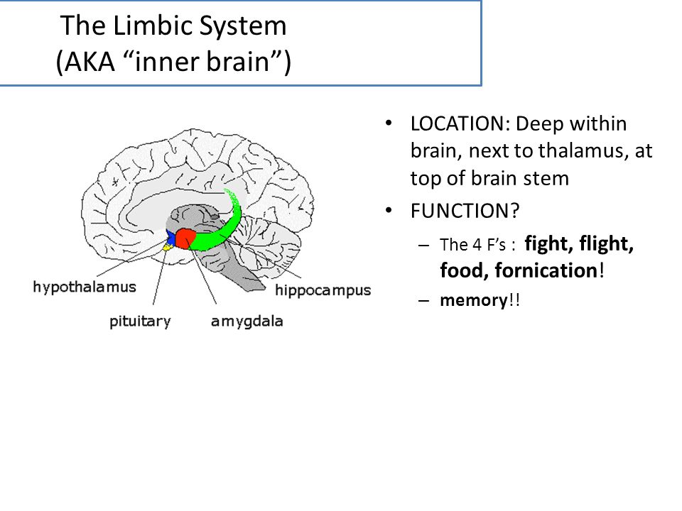 The Limbic System (AKA inner brain )