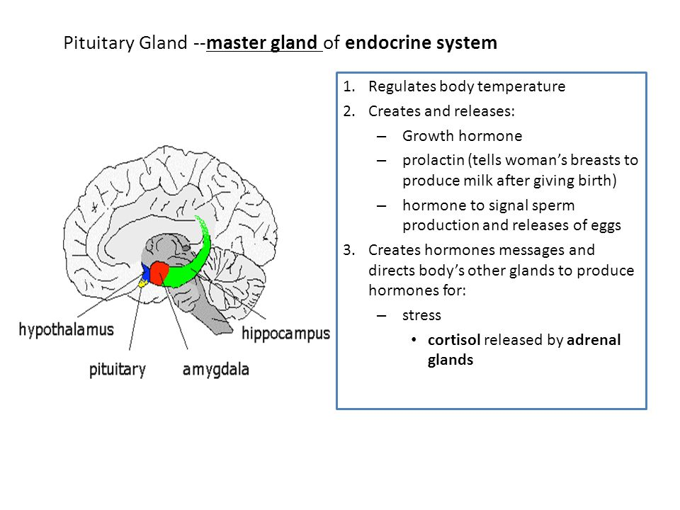 Pituitary Gland --master gland of endocrine system