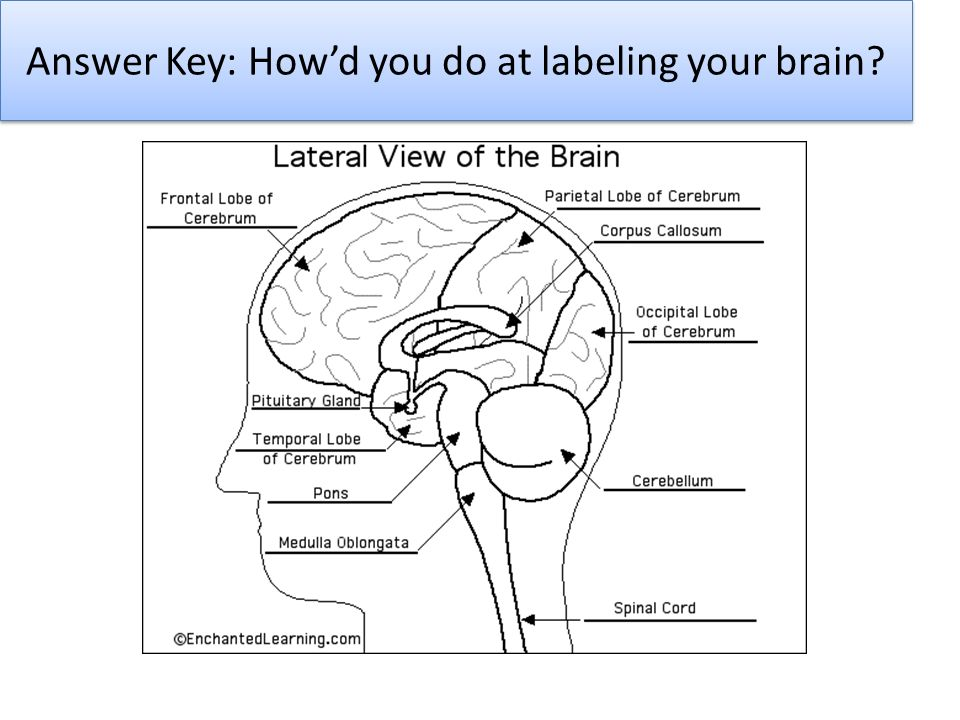 Answer Key: How'd you do at labeling your brain