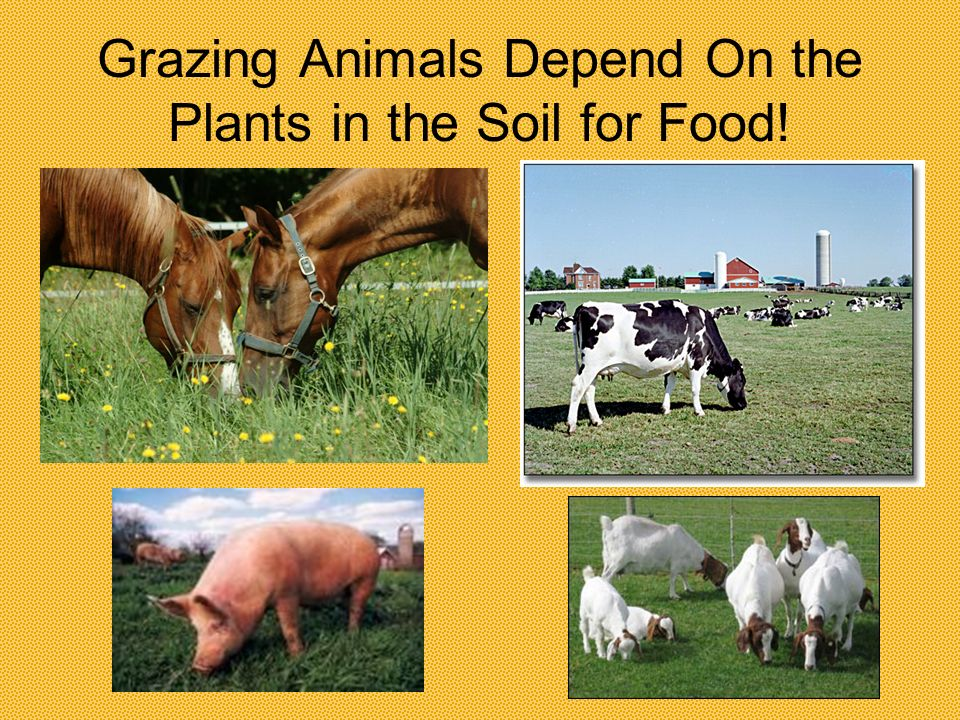 Grazing Animals Depend On the Plants in the Soil for Food!