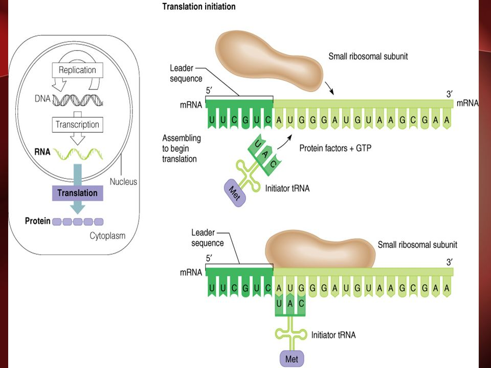 INITIATION OF TRANSLATION BRINGS TOGETHER A SMALL RIBOSOMAL SUBUNIT, MRNA AND AN INITIATIOR T RNA AND ALIGNS THEM IN THE PROPER ORIENTATION TO BEGIN TRANSLATION