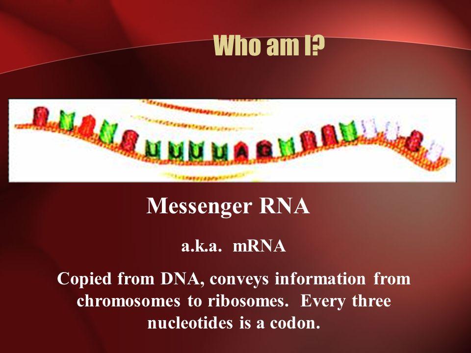 Who am I Messenger RNA a.k.a. mRNA