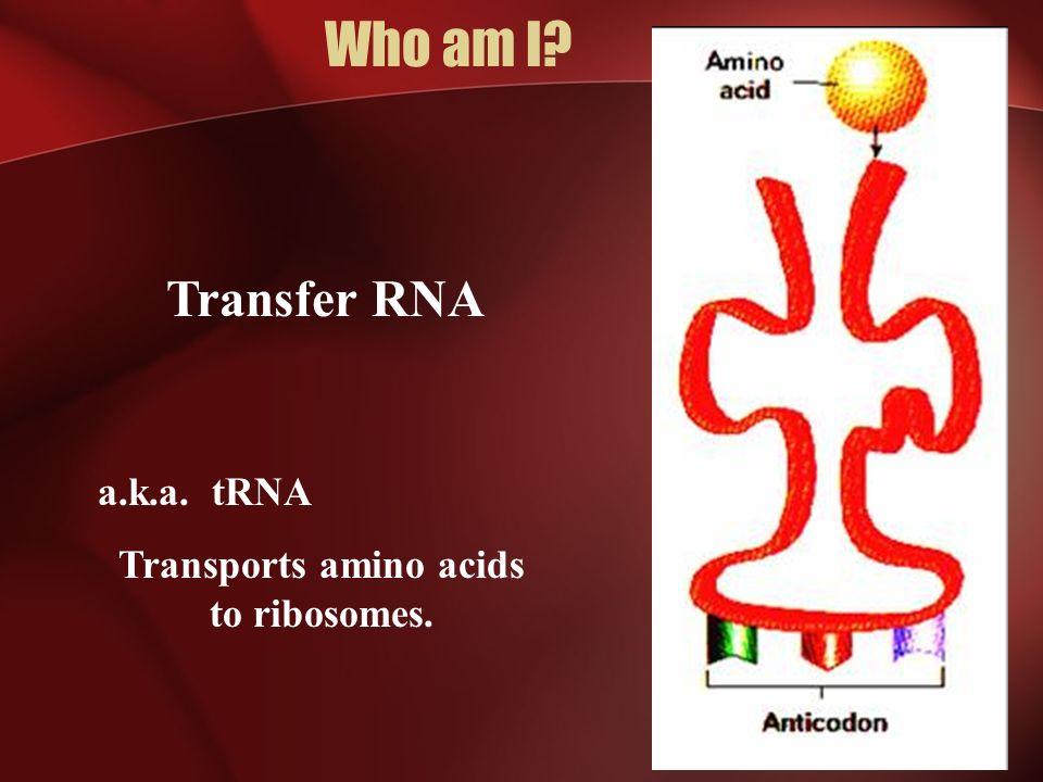Transports amino acids to ribosomes.