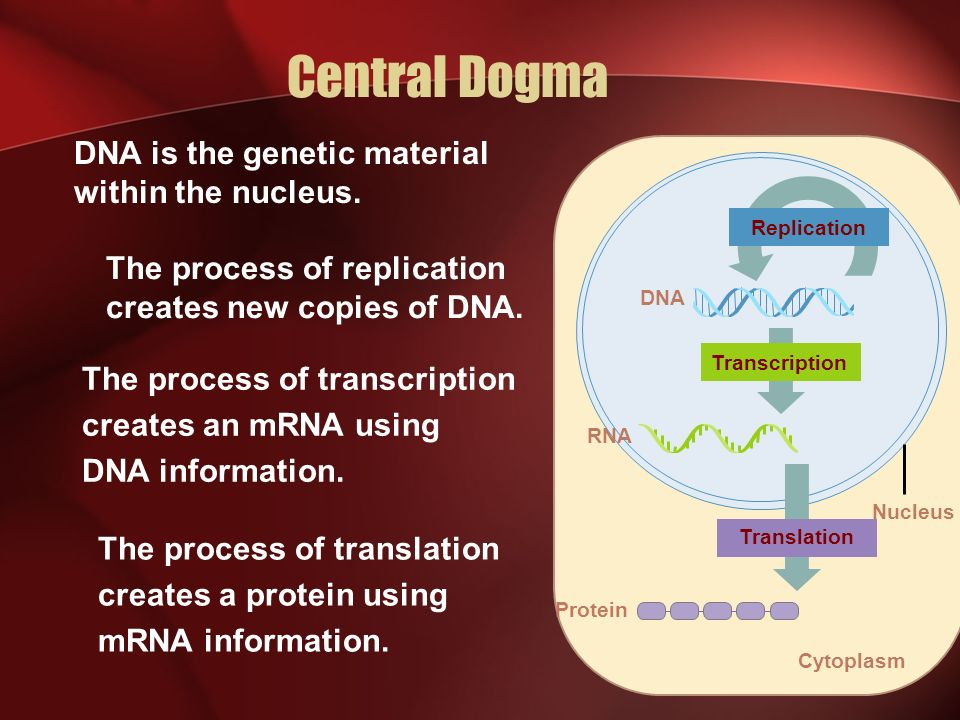 Central Dogma DNA is the genetic material within the nucleus.
