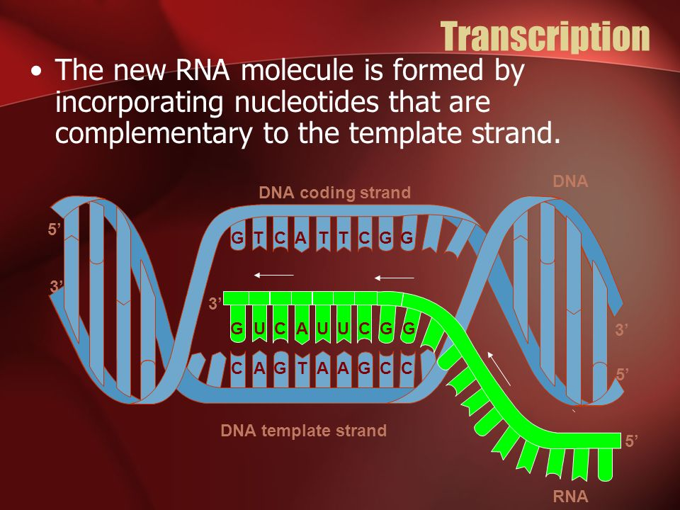 Transcription The new RNA molecule is formed by incorporating nucleotides that are complementary to the template strand.