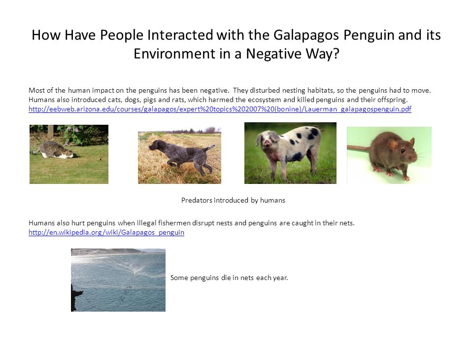 How Have People Interacted with the Galapagos Penguin and its Environment in a Negative Way