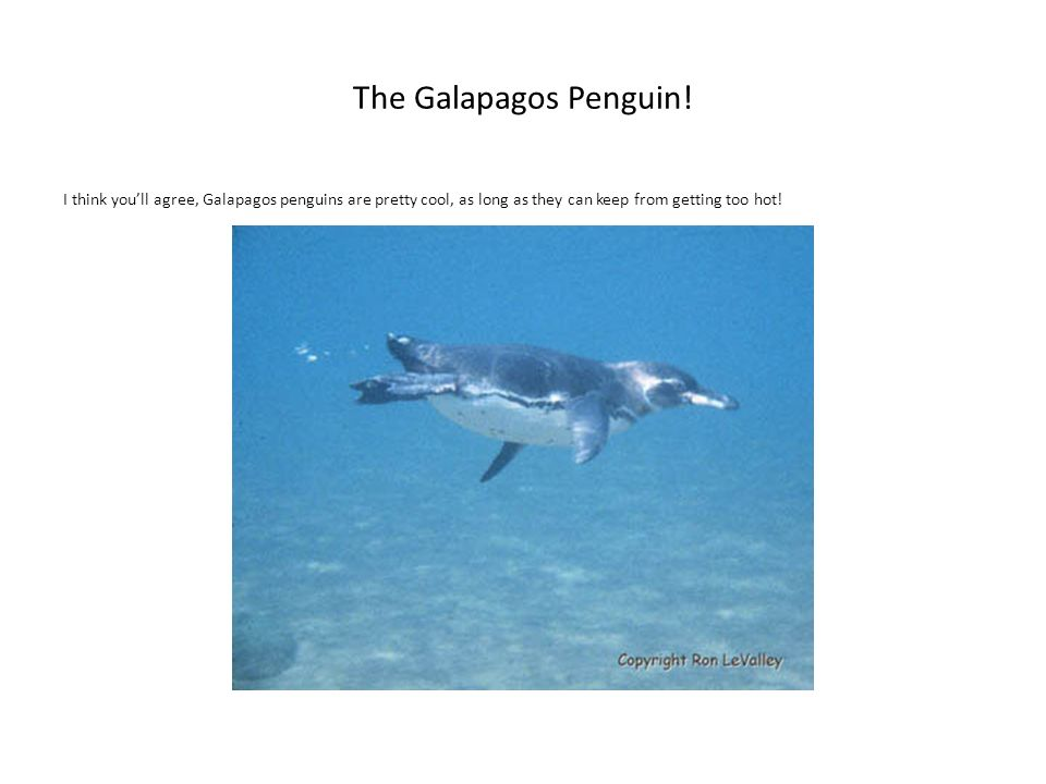 The Galapagos Penguin.