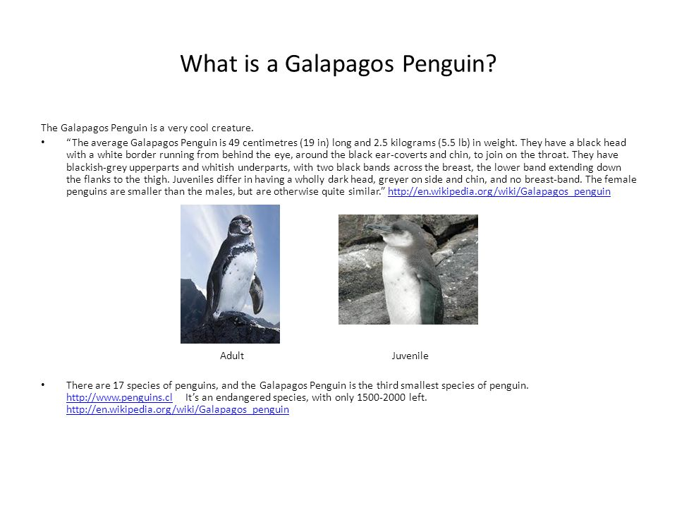 What is a Galapagos Penguin