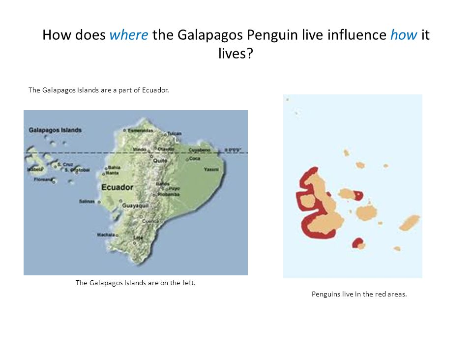 How does where the Galapagos Penguin live influence how it lives