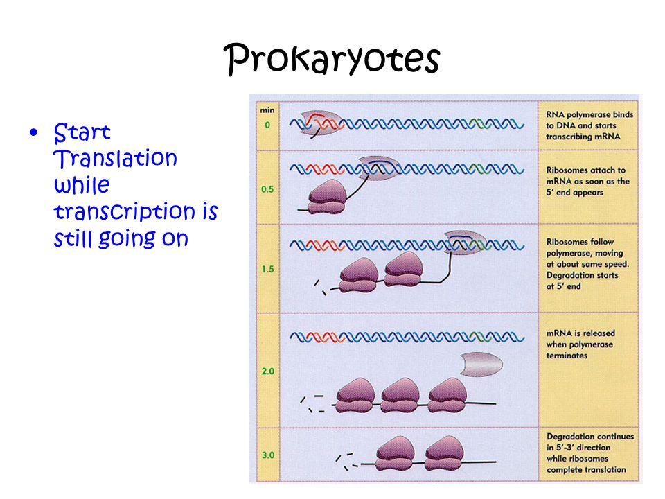 Prokaryotes Start Translation while transcription is still going on