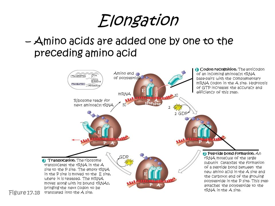 Elongation Amino acids are added one by one to the preceding amino acid. Codon recognition. The anticodon.