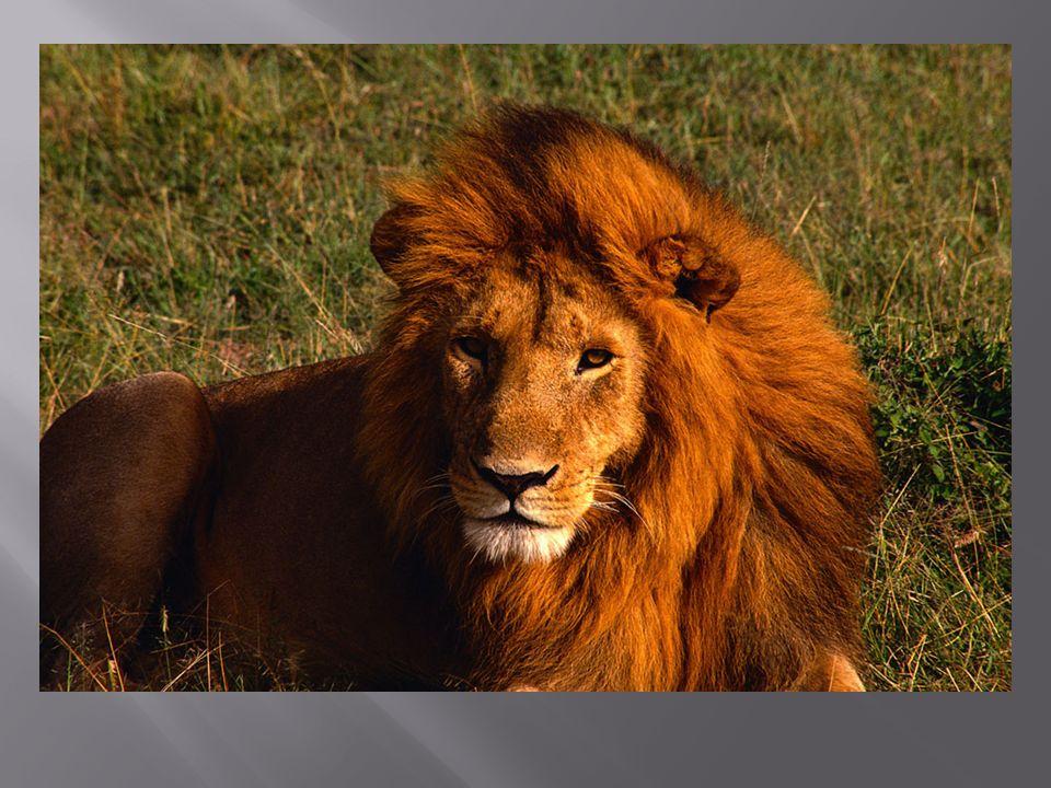 *Prince Caspian, p. 148, 152-4 ( The Lion Roars )