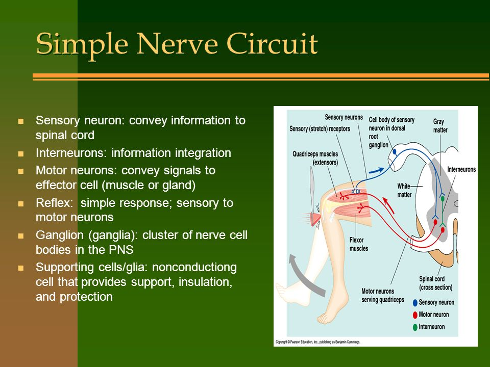 Simple Nerve Circuit Sensory neuron: convey information to spinal cord