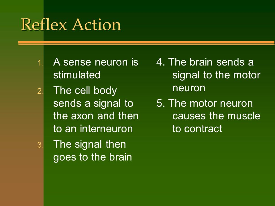 Reflex Action A sense neuron is stimulated