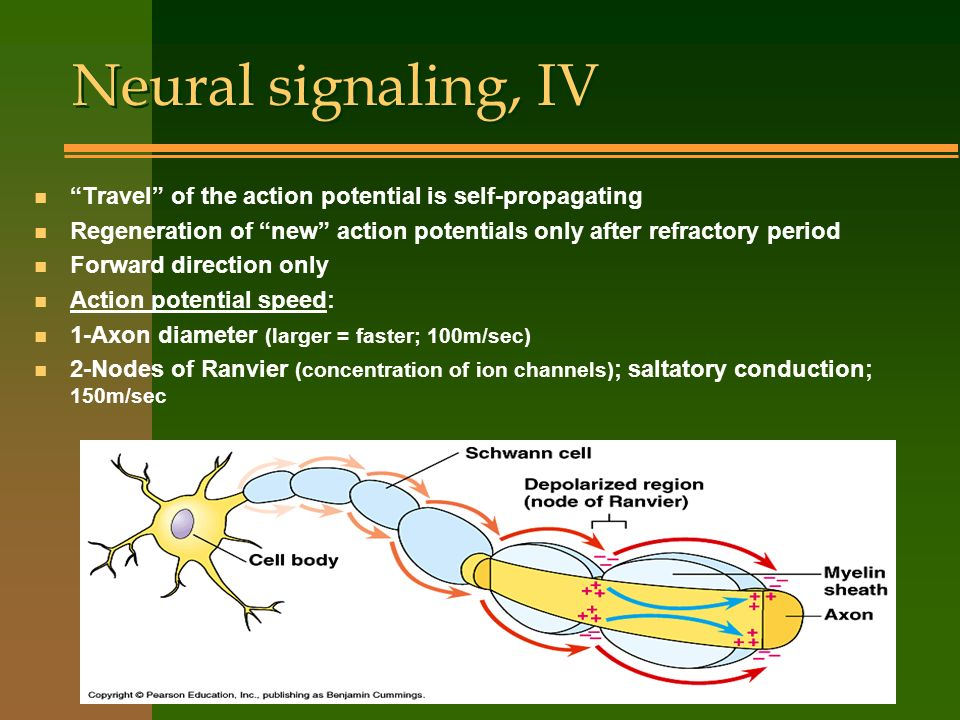 Neural signaling, IV Travel of the action potential is self-propagating. Regeneration of new action potentials only after refractory period.