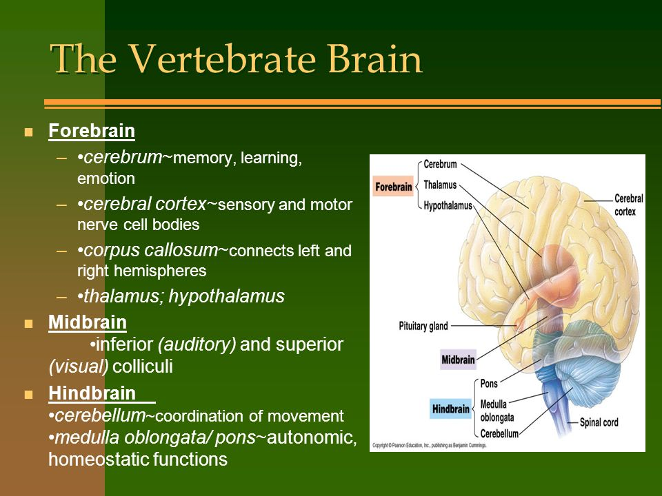 The Vertebrate Brain Forebrain •cerebrum~memory, learning, emotion