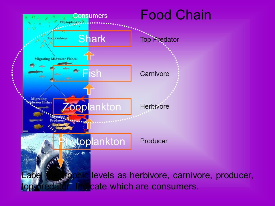 Food Chain Shark Fish Zooplankton Phytoplankton