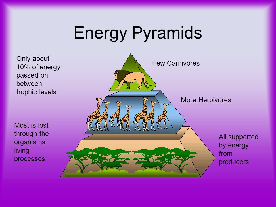 Energy Pyramids Only about 10% of energy passed on between trophic levels. Few Carnivores. More Herbivores.