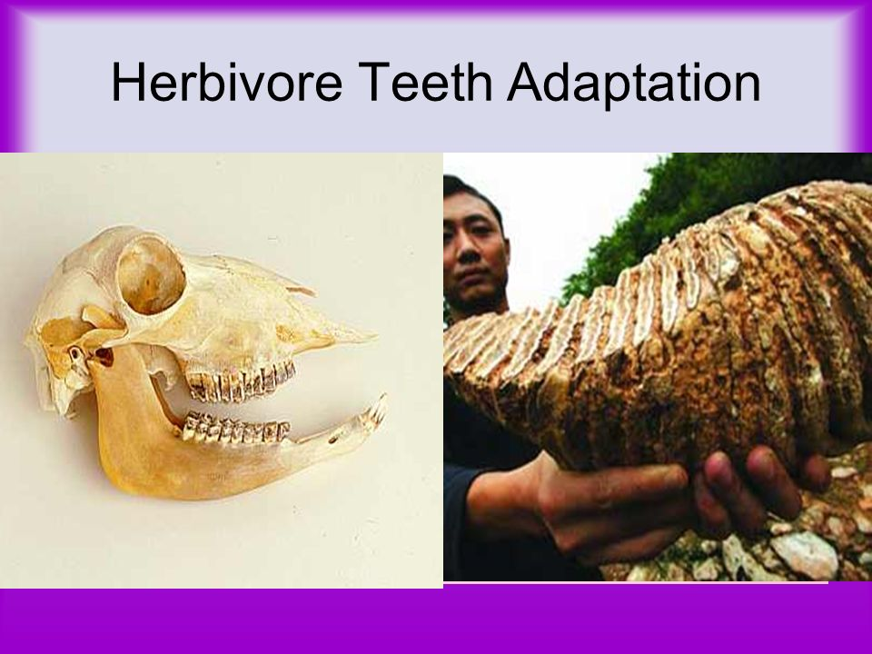 Herbivore Teeth Adaptation