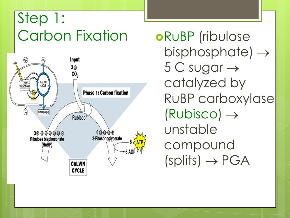 Step 1: Carbon Fixation RuBP (ribulose bisphosphate)  5 C sugar  catalyzed by RuBP carboxylase (Rubisco)  unstable compound (splits)  PGA.