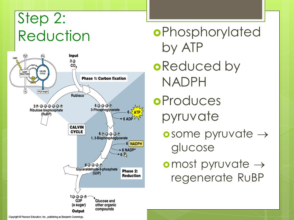 Step 2: Reduction Phosphorylated by ATP Reduced by NADPH