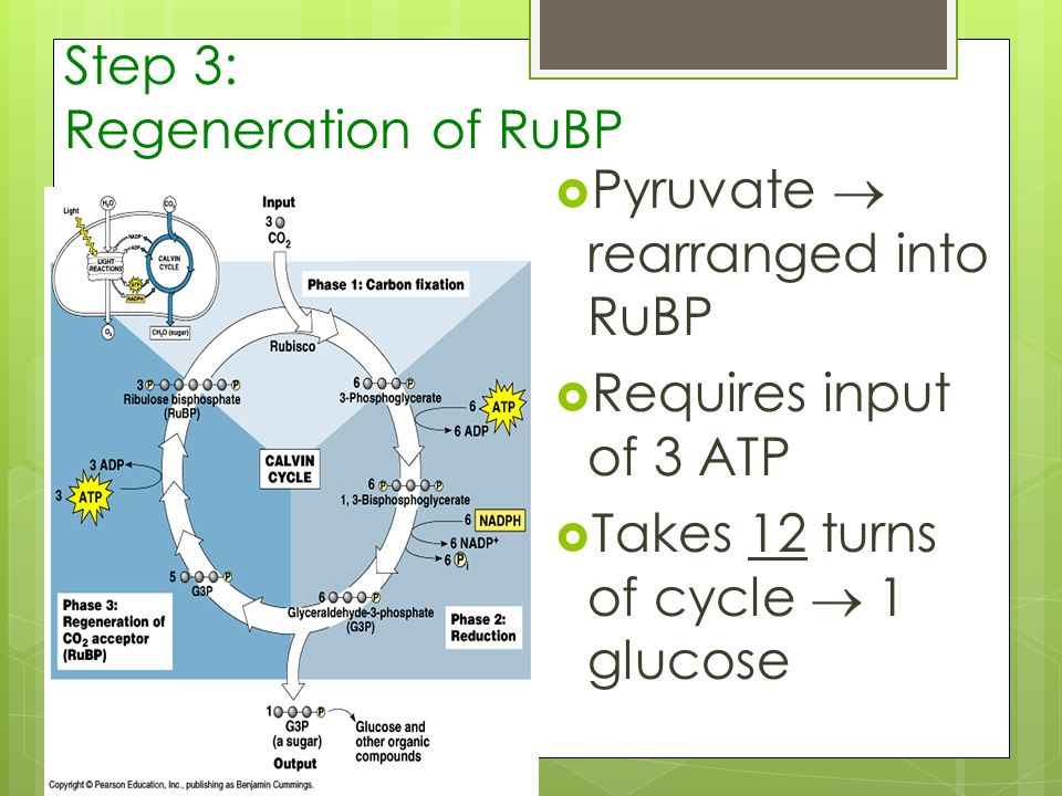 Step 3: Regeneration of RuBP