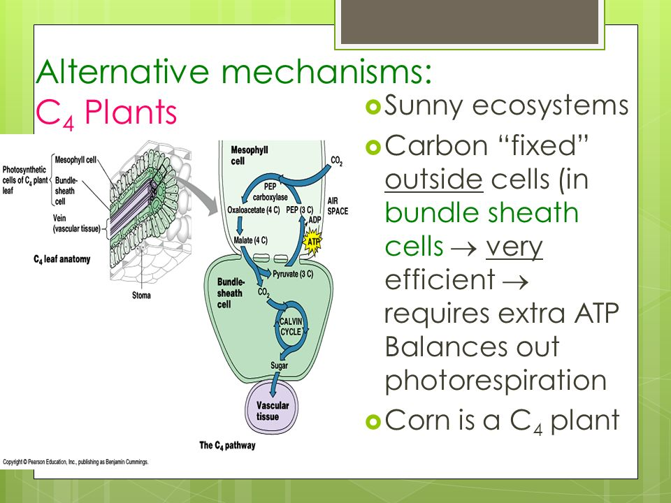 Alternative mechanisms: C4 Plants