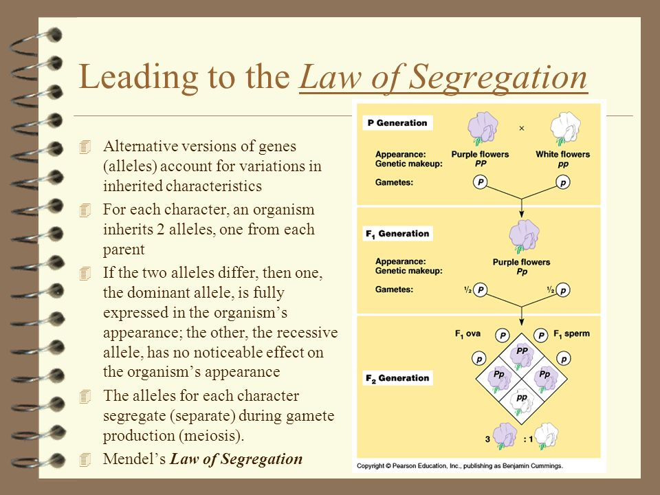 Leading to the Law of Segregation