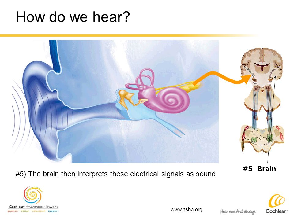 How do we hear. #5 Brain. #5) The brain then interprets these electrical signals as sound.